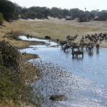 water holes in dry Boteti river