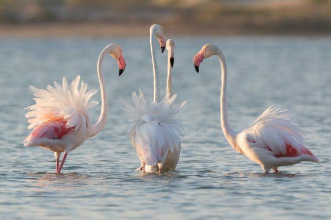 Plett news - the flamingos are back