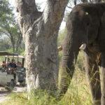 Moremi elephants