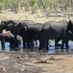 Savuti elephants at a man-made waterhole