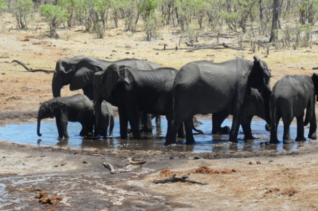 Savuti elephants at a man-made waterhole